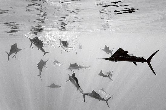 דגי מפרש / צלם: רינהרד דירשרל